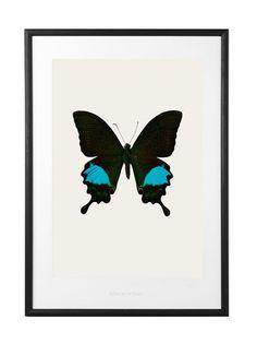 Rockett St George Papilio Paris Gedeensis Butterfly Print – Aqua at Coggles.com online store