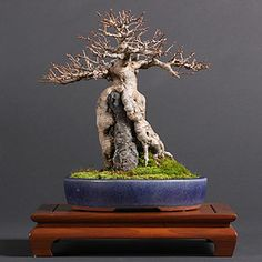 """:-: """"Acer buergerianum"""" Trident maple bonsai, Arce tridnete [root over rock by Boon Manakitivipart]"""