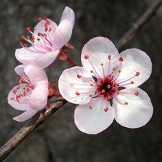 Flores Ciruelo / Flowers - Susanne Kuhlmann: After the successful referendum Sakura Cherry Blossom, Cherry Blossom Flowers, Peach Blossoms, Blossom Trees, Plum Flowers, Flowers Nature, Exotic Flowers, Pretty Flowers, Nature Nature