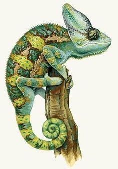 Chameleon - Kingdom of Animal's Les Reptiles, Reptiles And Amphibians, Cameleon Art, Reptile Crafts, Vogel Illustration, Veiled Chameleon, Snake Art, Young Animal, Desenho Tattoo