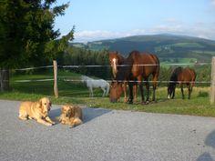 Die Hunde wachen über die Pferde auf der Koppel.  http://www.ponyhof-familienhotel.at
