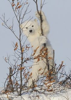 A polar bear cub climbs a tree near Churchill, Manitoba, Canada Polar Cub, Arctic Polar Bears, Baby Polar Bears, Sloth Bear, Bear Cubs, Panda Bear, Churchill, Baby Animals, Cute Animals