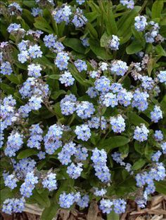 Royal Blue Compact Forget-Me-Not