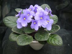 Optimara Manitoba 中型淡紫(標準型)   芋頭色,花期長且花多