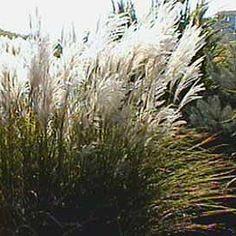 1000 images about garden grasses on pinterest ornamental grasses grasses and pampas grass. Black Bedroom Furniture Sets. Home Design Ideas