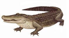 Alligator - Yahoo Image Search Results