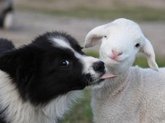 cute dog licking a lovely sheep