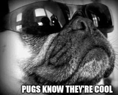 Pugs know they're cool