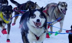 Excitement! Iditarod 2017. 72 mushers must appear at ceremonial start with 12 of their 16 dog team