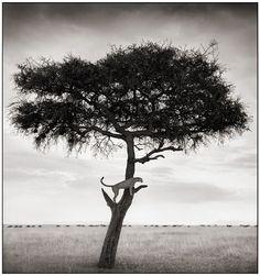 Nick Brandt, Cheetah in Tree, Massai Mara