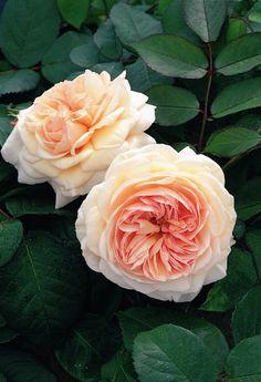 ~'Shropshire Lad' rose-No beauty like English roses!