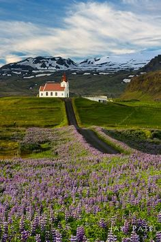Iceland - Looks like Lupins grow there, too.