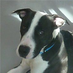 *OZ-ID#A688400    Shelter staff named me OZ.    I am a neutered male, black and white Pit Bull Terrier and Labrador Retriever.    The shelter staff think I am about 1 year old.    I have been at the shelter since Dec 09, 2012.