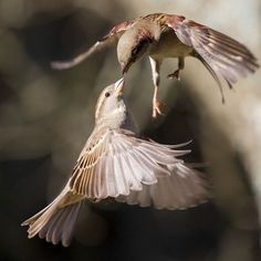 Mid Air Kiss Photo by Derek Tearne — National Geographic Your Shot