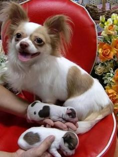 adorable chihuahua puppies with heart-shaped markings like their mother