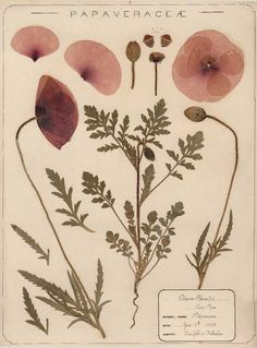 Herbarium specimen of common poppy, Papaver rhoeas, collected 1895 by Frances Giles, a pharmacist, near Folkestone, Kent. Image: Royal Botanical Garden Kew / flickr