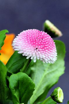 Bellis | Flickr - Photo Sharing!