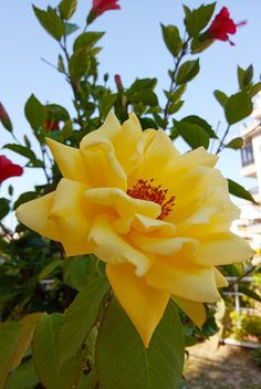 Rose Trees, Twinkle Star, Morning Flowers, Yellow Roses, Beautiful Roses, Trees To Plant, Rainbow Colors, Planting Flowers, Photos