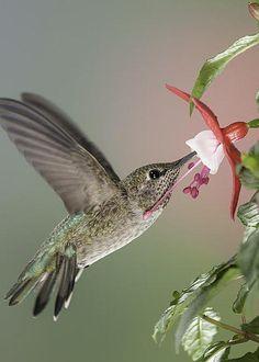 Anna's Hummingbird by Stuart Clarke