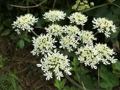 Common hogweed