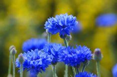 A kék búzavirág forrázata görcsoldó hatással bír, jó étvágyjavító, külsőleg toroköblítésre és szemborogatásra is használják. Egy centaurin nevű keserűanyagot, antociánfestéket és ásványi sókat is tartalmaz. Plants, Plant, Planets