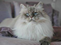 Nikarl Silver Puff Nadienka, a Blue Lynx Point Siberian, born in August 2005