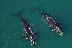 Two southern right whales off Spring Beach at Orford, Tasmania.