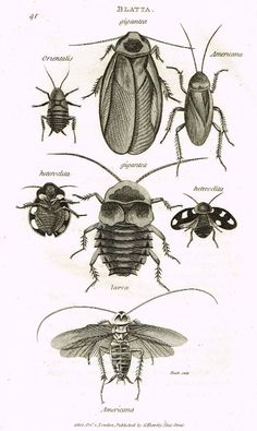 """Shaw's General Zoology (Insects) - """"COCKROACH - BLATTA""""- Copper Engraving - 1805 #Vintage, $23.99"""