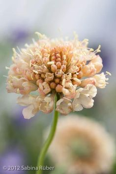 Scabiosa atropurpurea `Fata Morgana' (Sweet Scabious): HA, 3'sq.; creamy apricot-yellow flowers; sweetly scented (maybe it's the S. atropurpurea are the fragrant ones), can propagate from seed ... Like all scabious: full sun, dry, well-drained soil/any PH; bee & butterfly friendly, xeriscape, excellent cut flower/dried, container, deer resistant; Easy care: keep deadheading/using cut flowers for +blooms June-Sept, average/medium growth rate - may be short-lived perennial but will self-seed
