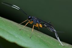 Cryptinae by melvynyeo on DeviantArt