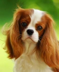 Cavalier King Charles Spaniel by kerry