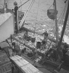Storsildfiske. Sildesnurpere ved Ålesund og sildedrivfangstbåt ved mottaksanlegget i Fosnavåg. - Sverresborg Trøndelag Folkemuseum / DigitaltMuseum