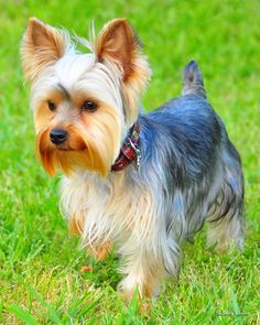a9f87aa0097b1a8df3101bbf5ea094cc--yorkshire-terrier-haircut-yorkshire-terriers.jpg 736×920 pixels