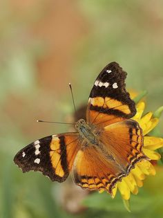 Bella Mapwing (Hypanartia bella). Hypanartia, commonly called mapwings, is a genus in the Nymphalidae family found from Mexico to South America.