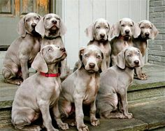 Ler's all sit together..... weimaraner puppies