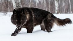 """Black Timber Wolf photographed at a wildlife reserve in Northern Minnesota. """"My name is Conrad Tan. I currently reside in Northern Califo. Wolf Images, Wolf Photos, Wolf Pictures, Cute Baby Animals, Animals And Pets, Wild Animals, Black Animals, Black Coyote, Wolf Spirit Animal"""