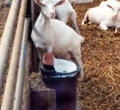 Vorstvrije watervoorziening voor geiten