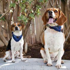beagle n jack