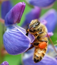 A bee visiting a lupine flower with an orange wad of pollen in its pollen basket from the flowers. The bee takes both pollen and nectar from the flowers and pollinates the plant in turn | Discovery Channel