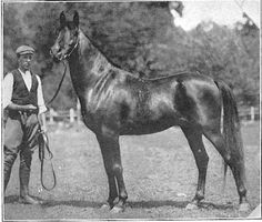 Haleb, 1901 brown stallion. Another photo of him. I absolutely love this horse.