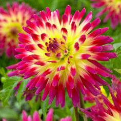 Biltmore Estate Dahlia Tahiti Sunrise from American Meadows, your trusted source for Dahlia Flower Bulbs. We offer gardeners guaranteed Biltmore Estate Dahlia Tahiti Sunrise and all the information and confidence needed to succeed. Flower Garden, Dahlia, Plants, Beautiful Flowers, Perennials, Flowers, Peony Root, Growing Dahlias, Dahlia Flower