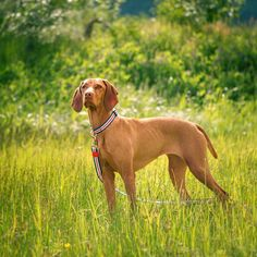 Summer days are definitely my favorite! I'm almost a bit anxious to make the most out of each long day the hikes that open up and the ability to safely leave the rain jackets at home. #summervibes #vizslagram #dogsofcanada collar-@riodogstore code WHISKEY10