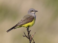 Western Kingbird, Jekyll Island, Georgia,  New Mexico