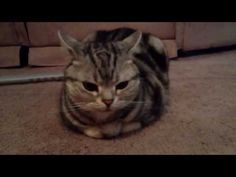 teach your cats how to loaf around properly