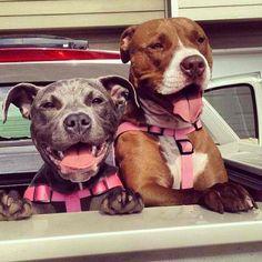 http://www.MyPitbullShop.com #pitbull #pitbulls #instadog #puppy #pup #cute #eyes #instagood #dogs_of_instagram #pet #pets #animal #animals #petstagram #petsagram #dogsitting #photooftheday #dogsofinstagram #ilovemydog #instagramdogs #nature #dogstagram #dogoftheday #lovedogs #lovepuppies #hound #adorable #instapuppy
