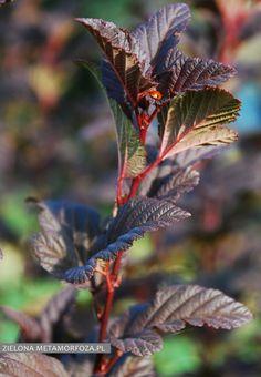 Pęcherznica kalinolista 'Carmen' / Physocarpus opulifolius