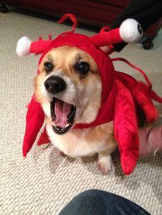 Lobster Corgi :O