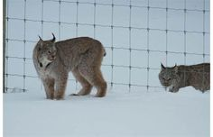 A lynx and her kitten were recently spotted climbing through a fence in Banff National Park.  Photograph by: Alex Taylor, Parks Canada