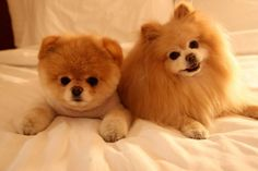 Cutes Pomeranian Dogs - Click to discover adorable dog harnesses, collars and more for Pomeranians.