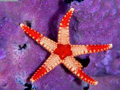 Palau, Micronesia-Los asteroideos o estrellas de mar son una clase del filo Echinodermata de simetría pentarradial, cuerpo aplanado formado por un disco pentagonal con cinco brazos o más